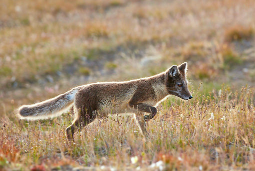 ARC 01 KH0003 01 © Kimball Stock Arctic Fox Female Walking Through Tundra Svalbard