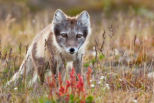 ARC 01 KH0005 01 © Kimball Stock Close-Up Of Arctic Fox Female Standing In Tundra Svalbard