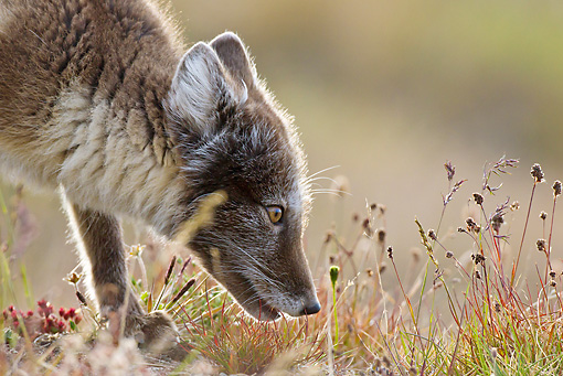 ARC 01 KH0012 01 © Kimball Stock Close-Up Of Arctic Fox Female Hunting In Tundra Svalbard