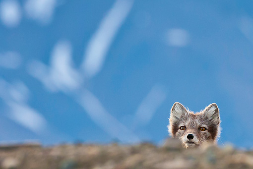 ARC 01 KH0013 01 © Kimball Stock Arctic Fox Female Peeking Over Hill Svalbard