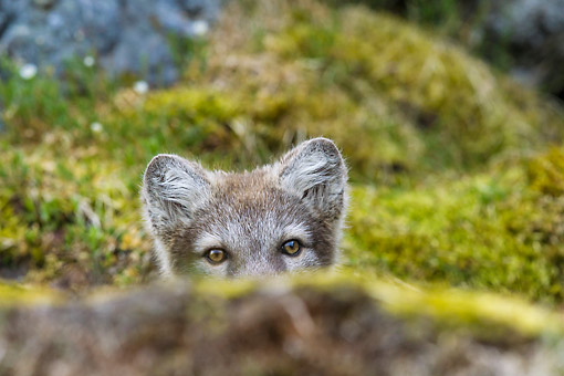 ARC 01 KH0016 01 © Kimball Stock Arctic Fox Pup Peeking Out From Behind Rock On Tundra Svalbard