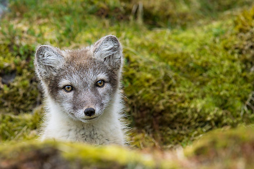 ARC 01 KH0017 01 © Kimball Stock Arctic Fox Pup Peeking Out From Behind Rock On Tundra Svalbard