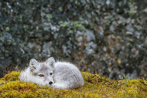 ARC 01 KH0018 01 © Kimball Stock Arctic Fox Pup Laying On Tundra In Rain Svalbard