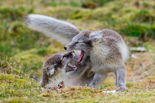 ARC 01 KH0019 01 © Kimball Stock Two Arctic Fox Pups Play Fighting On Tundra Svalbard