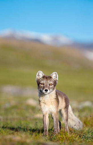 ARC 01 KH0020 01 © Kimball Stock Arctic Fox Standing In Tundra In Norway