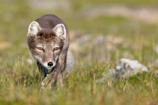 ARC 01 KH0021 01 © Kimball Stock Arctic Fox Creeping In Tundra In Norway