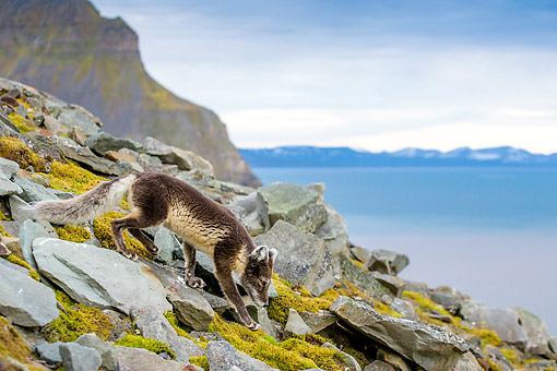 ARC 01 KH0023 01 © Kimball Stock Arctic Fox Walking Along Rocks In Tundra In Norway