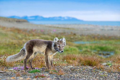 ARC 01 KH0024 01 © Kimball Stock Arctic Fox Walking Standing In Tundra In Norway