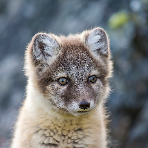 ARC 01 KH0025 01 © Kimball Stock Arctic Fox Portrait In Tundra In Norway