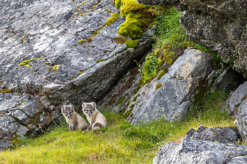 ARC 01 KH0026 01 © Kimball Stock Arctic Foxes In Tundra In Norway