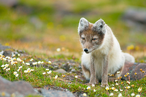 ARC 01 SK0009 01 © Kimball Stock Arctic Fox Sitting On Tundra With Wildflowers