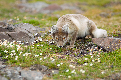 ARC 01 SK0012 01 © Kimball Stock Arctic Fox Crouching On Tundra With Wildflowers