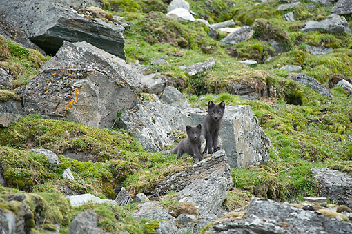 ARC 01 SK0013 01 © Kimball Stock Blue Phase Arctic Fox Vixen And Kit Standing Outside Of Den Along Northwestern Coast Of Spitsbergen, Svalbard