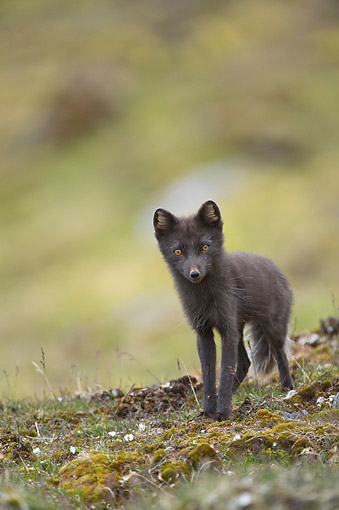 ARC 01 SK0014 01 © Kimball Stock Arctic Fox In Blue Phase Searching For Food Along Northwestern Coast Of Spitsbergen, Svalbard