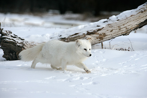 ARC 01 WF0001 01 © Kimball Stock Arctic Fox In Winter Coat Walking On Snow