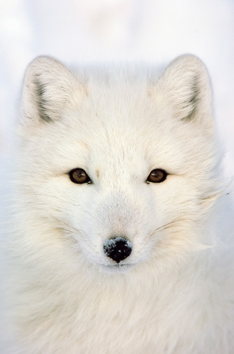 ARC 01 NE0001 01 © Kimball Stock Head Shot Of Arctic Fox In Snow Hudson Bay Canada