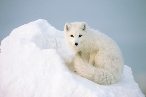 ARC 01 NE0003 01 © Kimball Stock Arctic Fox Sitting On Snow Mound Hudson Bay Canada