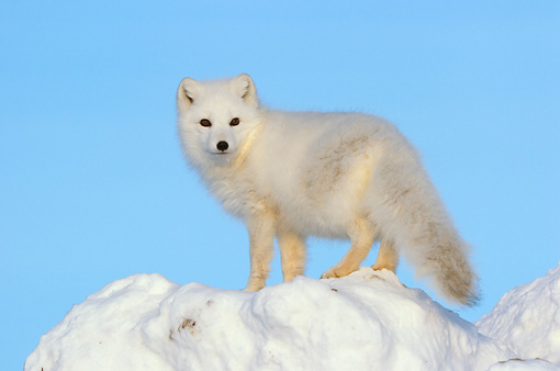 ARC 01 NE0004 01 © Kimball Stock Arctic Fox Standing On Snow Mound Hudson Bay Canada