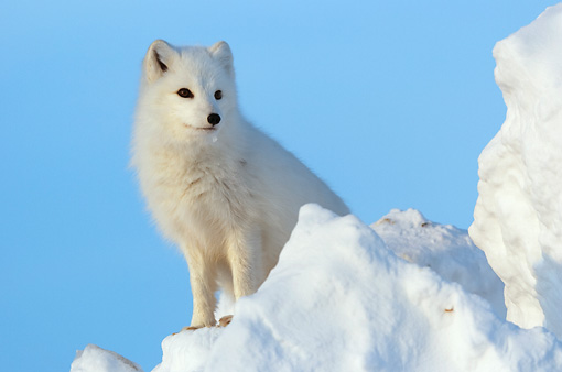 ARC 01 NE0005 01 © Kimball Stock Arctic Fox Sitting On Snow Mound Hudson Bay Canada