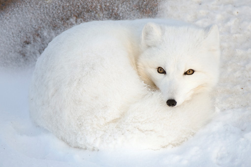 ARC 01 NE0006 01 © Kimball Stock Arctic Fox Curled Up On Snow Hudson Bay Canada