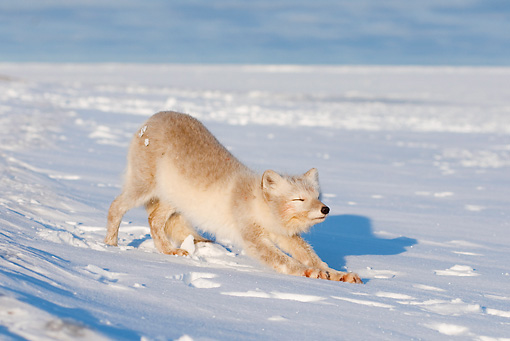 ARC 01 SK0005 01 © Kimball Stock Arctic Fox Stretching On Snow