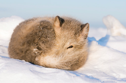 ARC 01 SK0006 01 © Kimball Stock Arctic Fox Curled Up On Snow