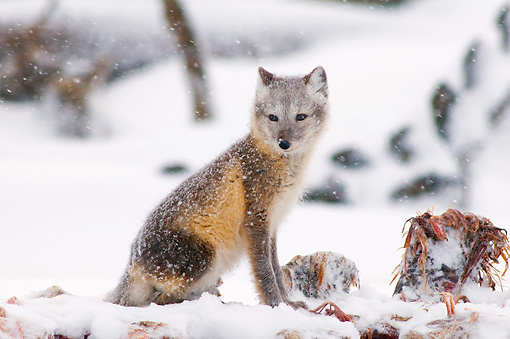 ARC 01 SK0007 01 © Kimball Stock Arctic Fox Sitting By Whale Bones On Snow