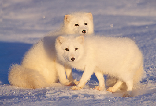 ARC 01 TL0001 01 © Kimball Stock Two Arctic Fox On Snow At Dusk
