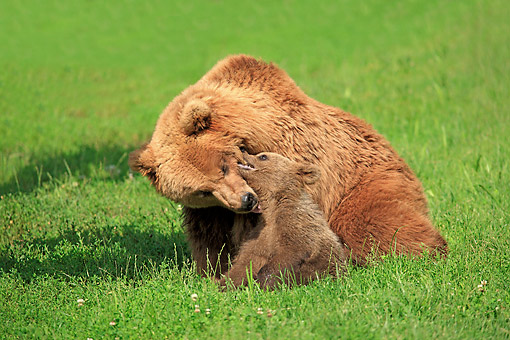 BEA 01 AC0009 01 © Kimball Stock European Brown Bear Female Playing With Young