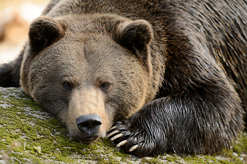 BEA 01 AC0014 01 © Kimball Stock Brown Bear Laying In Bavarian Forest, Germany
