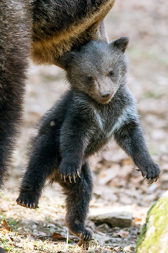 BEA 01 AC0016 01 © Kimball Stock Brown Bear Picking Up Cub In Bavarian Forest, Germany