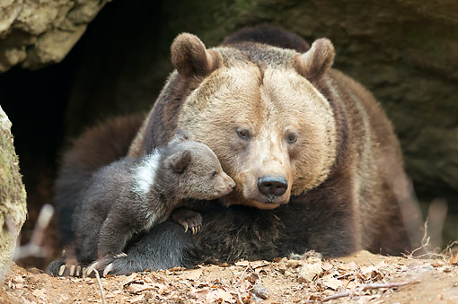 BEA 01 AC0017 01 © Kimball Stock Brown Bear Laying With Cub In Bavarian Forest, Germany