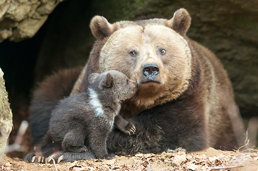 BEA 01 AC0018 01 © Kimball Stock Brown Bear Laying With Cub In Bavarian Forest, Germany