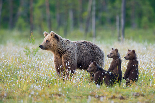 BEA 01 AC0025 01 © Kimball Stock European Brown Bear Female Standing With Cubs In Meadow, Finland
