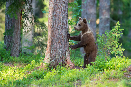 BEA 01 AC0027 01 © Kimball Stock European Brown Bear Cub Leaning On Tree, Finland