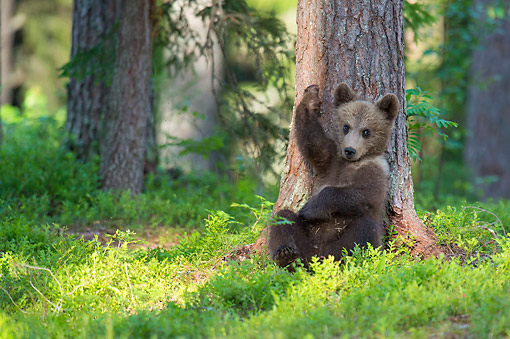 BEA 01 AC0028 01 © Kimball Stock European Brown Bear Cub Leaning On Tree, Finland