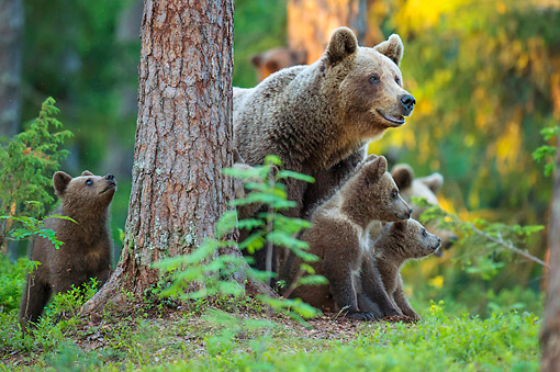 BEA 01 AC0030 01 © Kimball Stock European Brown Bear Female Standing With Cubs In Forest, Finland