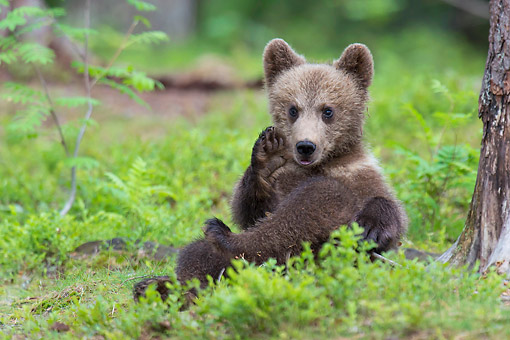 BEA 01 AC0031 01 © Kimball Stock European Brown Bear Cub Sitting In Forest, Finland