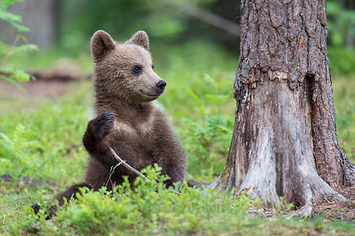 BEA 01 AC0032 01 © Kimball Stock European Brown Bear Cub Sitting In Forest, Finland