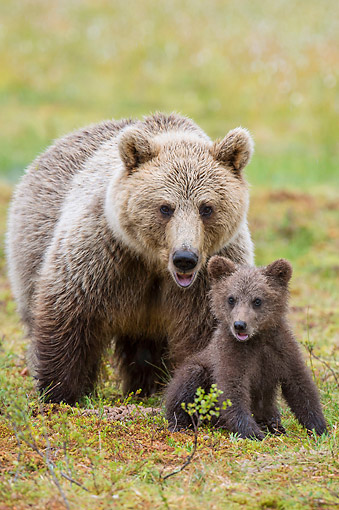 BEA 01 AC0033 01 © Kimball Stock European Brown Bear Adult Standing With Cub Sitting In Forest, Finland