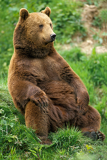 BEA 01 GL0001 01 © Kimball Stock Brown Bear Sitting Upright On Grass