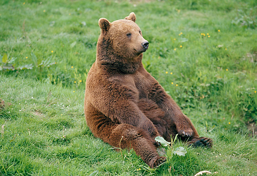 BEA 01 GL0009 01 © Kimball Stock Brown Bear Sitting Upright On Grass