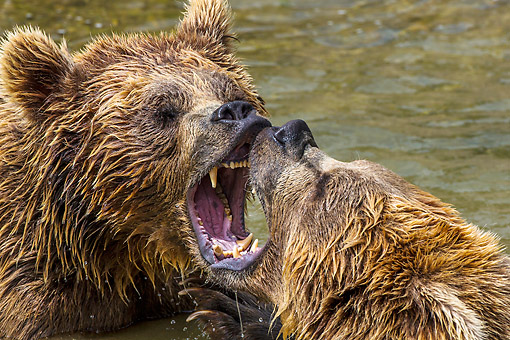 BEA 01 KH0001 01 © Kimball Stock Close-Up Of Two European Brown Bears Fighting In Stream