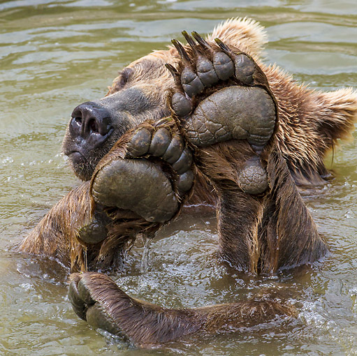 BEA 01 KH0002 01 © Kimball Stock European Brown Bear Swimming In Stream With Paws In Front Of Face