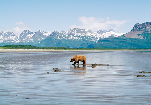 BEA 01 LS0002 01 © Kimball Stock Brown Bear Digging For Clams On Tidal Flats Katmai National Park Alaska