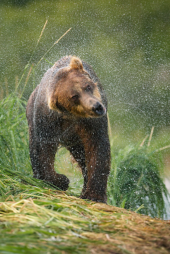 BEA 01 MC0003 01 © Kimball Stock Brown Bear Shaking Wet Fur After Fishing In River