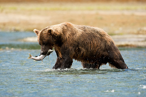 BEA 01 MC0010 01 © Kimball Stock Brown Bear Catching Pink Salmon At Feeder Stream Alaska