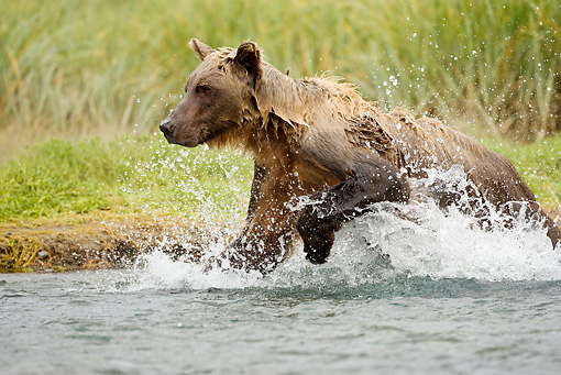BEA 01 MC0011 01 © Kimball Stock Brown Bear Splashing Through Stream To Catch Salmon Alaska