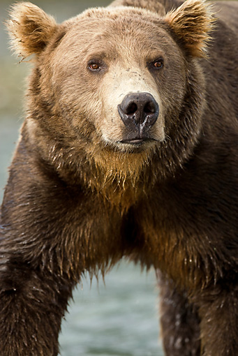 BEA 01 MC0013 01 © Kimball Stock Head Shot Of Brown Bear Standing In Stream During Fall Salmon Run Alaska