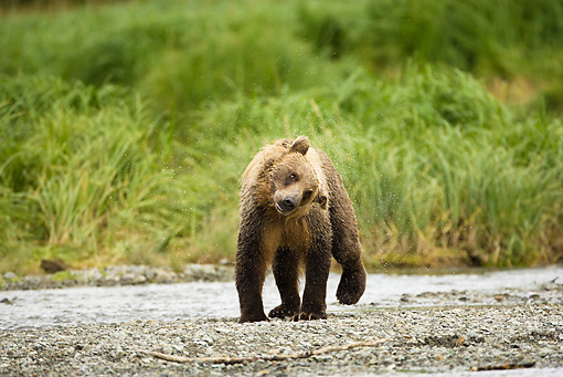 BEA 01 MC0014 01 © Kimball Stock Brown Bear Shaking Water Off Fur On Riverbank Alaska